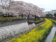 上尾市文化センター横の桜