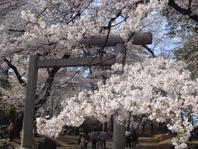 大宮公園 鳥居前の桜